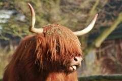 Jigsaw : Scottish Hochlandrind