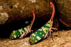 Jigsaw : Canthigaster Cicada