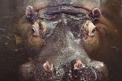 Jigsaw : Hippo Submerged