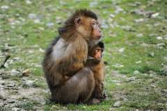 Jigsaw : Barbary Macaque
