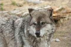 Jigsaw : Wolf