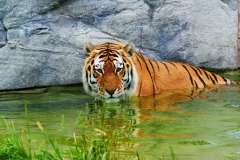 Jigsaw : Tiger