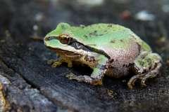 Jigsaw : Frog