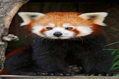 Jigsaw : Red Panda